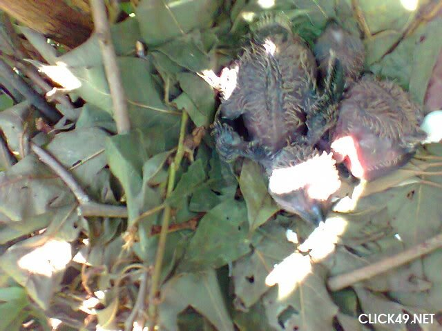 Bảo Lâm Bán Chim Phướn Click49 Bảo Lộc đà Lạt Lâm đồng