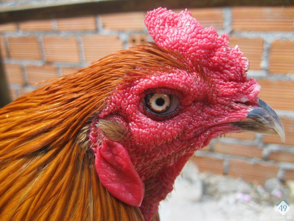 Kết quả hình ảnh cho mặt gà